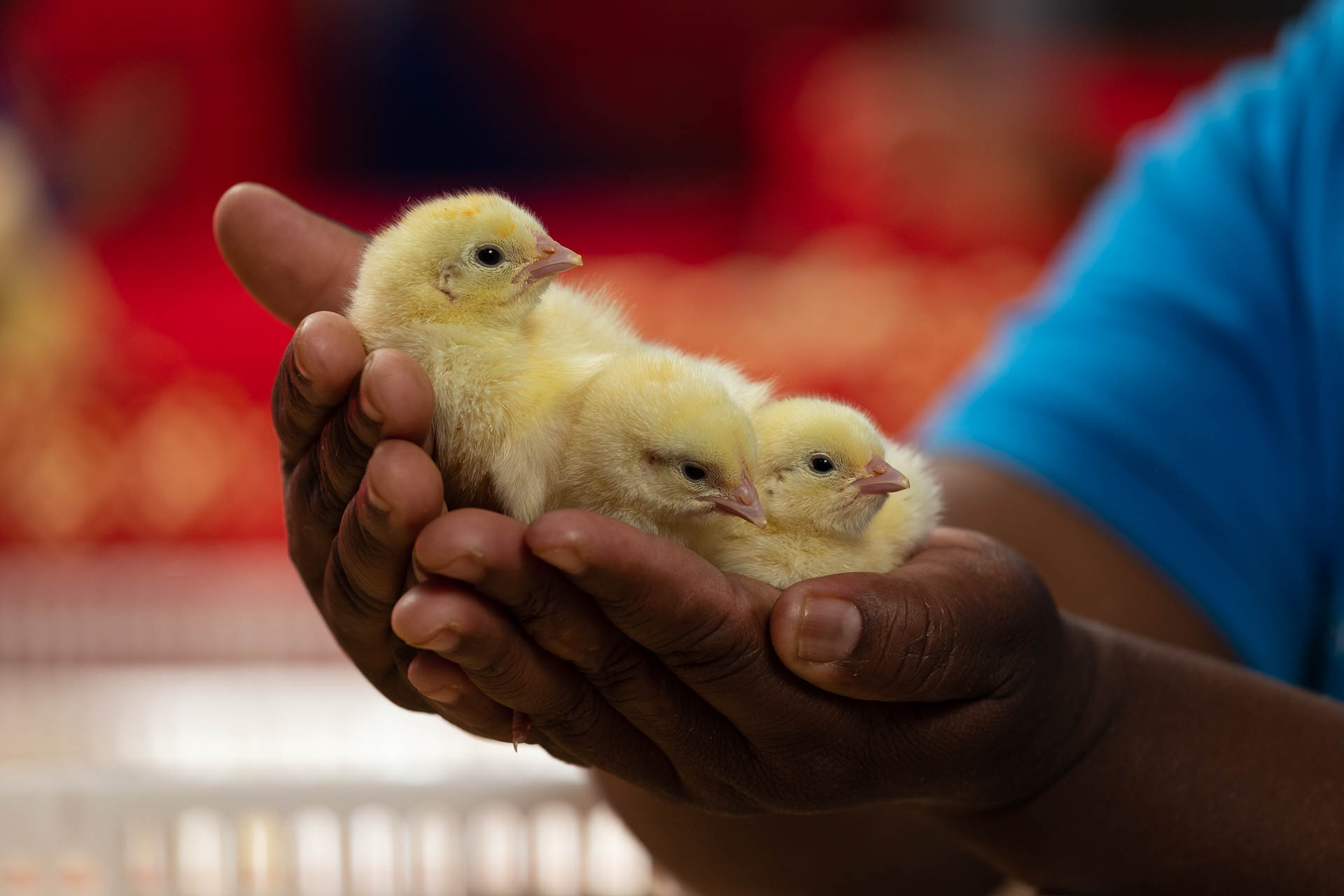 3 Day-old broiler chicks on hands