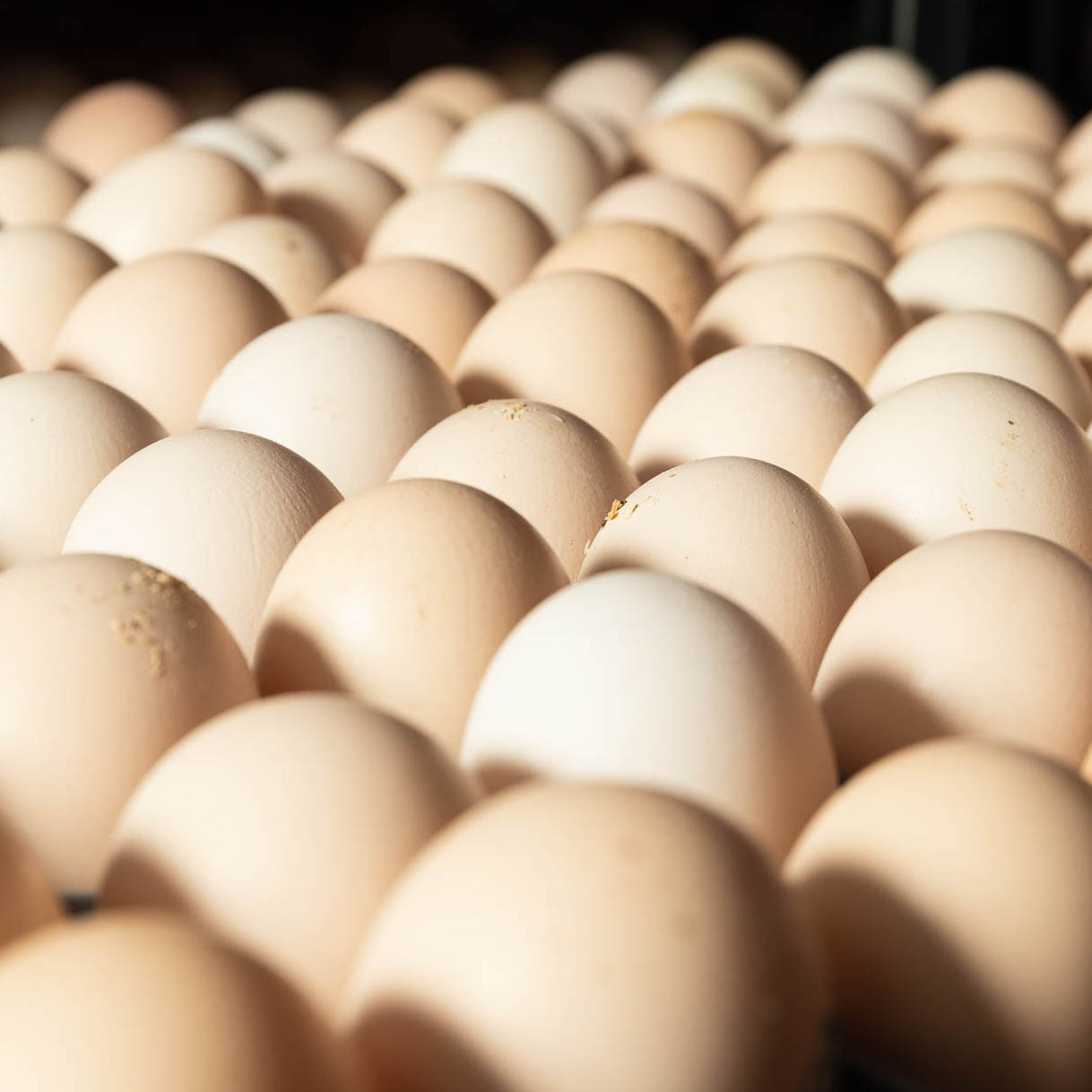 A tray filled with fertilised chicken eggs